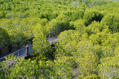 Die Waldmangrove Stockbilder