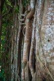 Die Wand der Reb- und Baumwurzel Stockfotografie