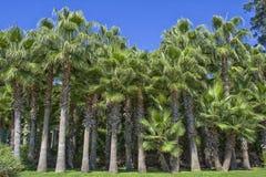 Die Wand von grünen Palmen auf einem blauen Himmel im Ataturk-Park Antalya, die Türkei Lizenzfreies Stockfoto