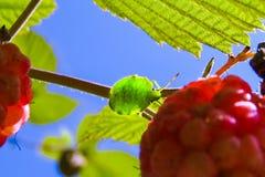 Die Wanze, die das grüne Baumschild Palomena-prasina in den Blättern sitzt lizenzfreie stockfotos