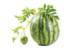 Die Wassermelone lizenzfreie stockfotografie