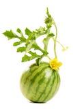 Die Wassermelone Lizenzfreie Stockfotos