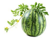 Die Wassermelone Stockfoto