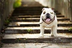 die Weiß-roter Hundeenglische Bulldogge, die auf Granit steht, tritt in die Sonne Lizenzfreies Stockbild
