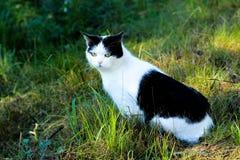 die weiß-schwarze Farbe der Katze, Katze, die im Gras, katzenartiger Anblick sitzt Stockbild