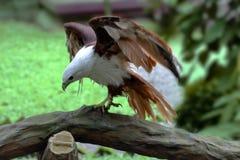 Die weiße Adlerlandung Stockfoto