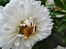 Die weiße Blüte und die Ameise Lizenzfreie Stockfotos