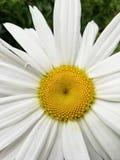 Die weiße Chrysanthemen-Blume stockfotografie