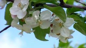 Die weiße Farbe von Apfelbäumen stock footage