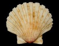 Die weiße Frontseite des Shells (Tankstellesymbol) Stockbild