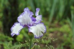 Die weiße Iris mit blauer Grenze im botanischen Garten in Simferopol-Stadt, Krim Stockbild