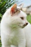 Die weiße Katze Stockbild