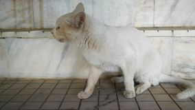 Die weiße Katze, die etwas nach sucht, essen stock footage