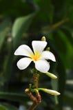 Die weiße Plumeriablume Lizenzfreies Stockfoto