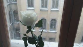 Die weiße Rose und die Schneefälle stock video