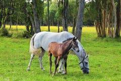 Die weiße Stute und ihr Fohlen Stockfotos