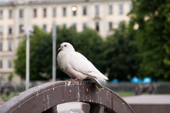 Die weiße Taube Lizenzfreies Stockfoto