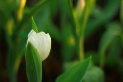 Die weiße Tulpe stockfotografie