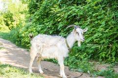 Die weiße Ziege auf einem Fußweg Lizenzfreies Stockfoto
