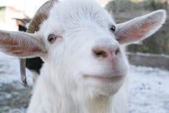 Die weiße Ziege der Mündung mit Hörnern lizenzfreies stockfoto