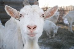Die weiße Ziege der Mündung mit Hörnern stockfotos