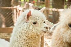 Die weißen Alpaka Vicugna pacos stockbilder