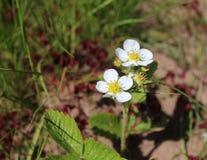 Die weißen Blüten von Erdbeeren Stockfotos