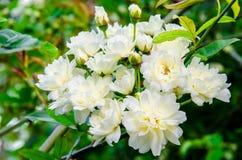 Die weißen Blumen Stockfotos