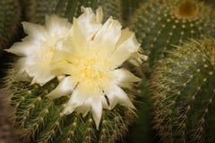 Die weißen Blumen von echinocactus Kakteen Stockfotos