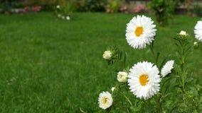 Die weißen Gänseblümchen, die bis zum Frühling durchgebrannt werden, sausen - Hausgartenhintergrund stock video footage