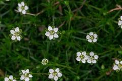 Die weißen kleinen Blumen im grünen Gras Lizenzfreies Stockfoto