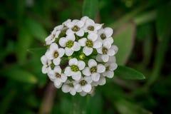 Die weißen kleinen Blumen im grünen Gras Lizenzfreie Stockbilder