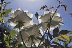 Die weißen und rosa Rosen in einem Rosengarten in einem botanischen Garten in Warschau stockfotografie