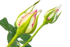 Die Weißrose, die schön ist, stieg mit den Blättern, die auf Weiß lokalisiert wurden Stockbild