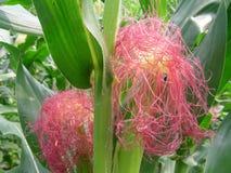 Die weibliche Blume von Mais Stockfotos