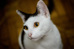 Die weibliche Katze Lizenzfreie Stockfotos