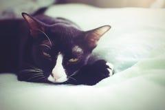 Die weibliche Maskenkatze, die im Bett notting ist ihren Kopf liegt, schlafen ein Lizenzfreie Stockfotografie
