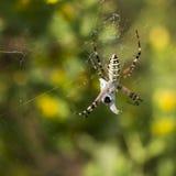 Die weibliche Spinne Argiope bruennichi Nahaufnahme Stockfotografie