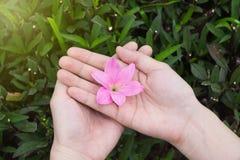 Die weiblichen Hände, die rosa Regenlilie halten, blühen mit den grünen hinteren Blättern lizenzfreies stockbild