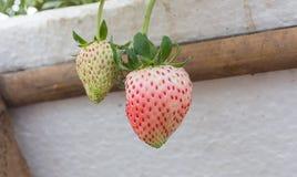 Die weiche Erdbeere ist nicht noch reif Stockfotografie