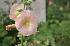 Die weichsten rosa Blumenblätter lizenzfreies stockfoto