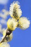Die Weideblüten stockfotos