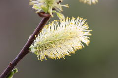 Die Weideblüten stockfoto