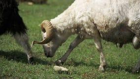 Die weiden lassende Schafherde und essen Gras auf Wiese Tierweg auf Feld Langsame Bewegung stock footage