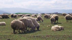 Die weiden lassende Schafherde und essen Gras auf Wiese Tierweg auf Feld stock footage