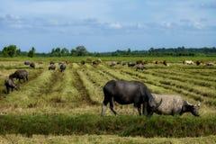 Die Weise waren sie auf dem Reisfeld von Büffeln Lizenzfreies Stockbild