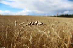 Die Weizenähre Stockfoto