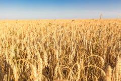 Die Weizenfelder Lizenzfreie Stockfotos