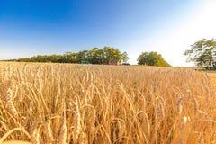 Die Weizenfelder Stockbild