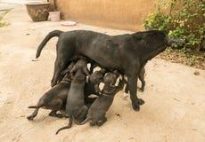 Die Welpen saugen ihre Milch vom Mutterhund Stockbild